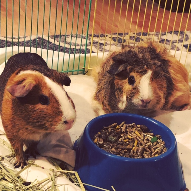 Guinea pigs Jingu and Bridget