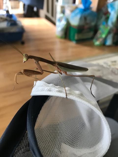 Maize the Praying Mantis